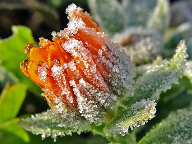 2019-12-05 LüchowSss Garten Ringelblumen-Knospe (Calendula officinalis) (2)