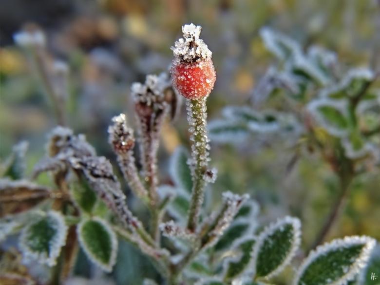 2019-12-05 LüchowSss Garten Rose 'Lupo' Hagebutte (1)
