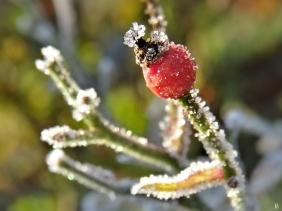 2019-12-05 LüchowSss Garten Rose 'Lupo' Hagebutte (2)