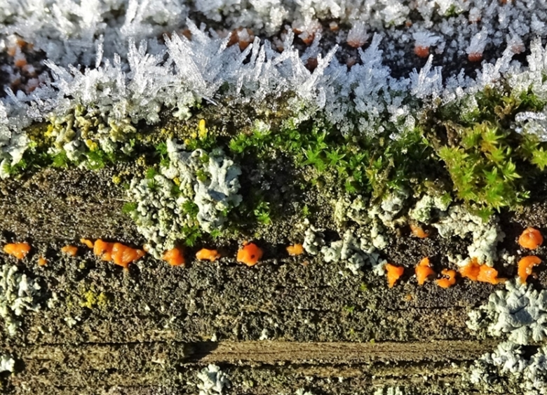 2019-12-05 LüchowSss Zaun mit orangem Pilz od. Flechte + grünem Moos + Reifkristallen