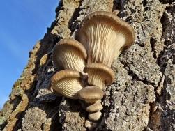 2019-12-09 LüchowSss Garten Pilze an der Eiche - Austern-Seitlinge (Pleurotus ostreatus), dunkel (1)