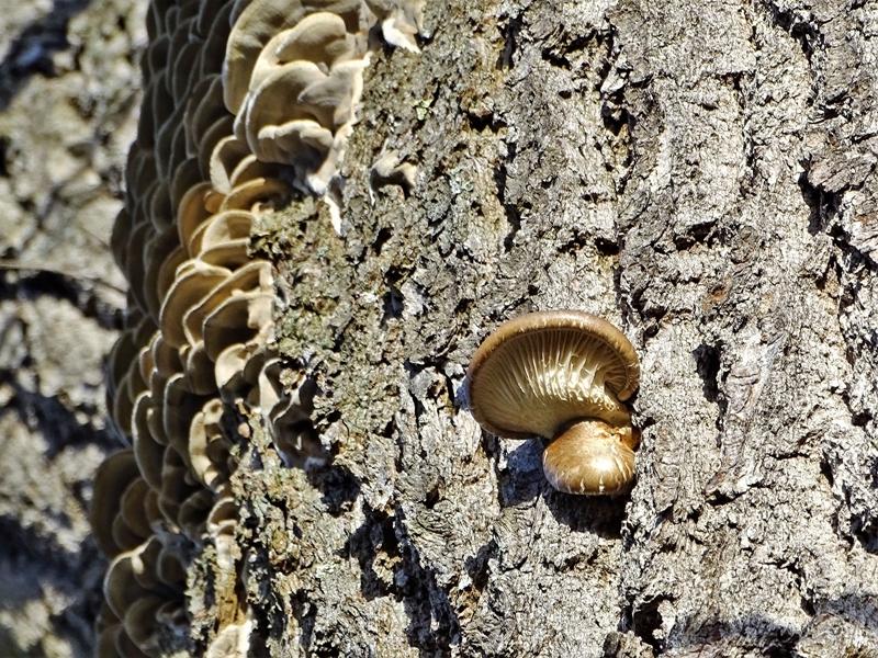 2019-12-09 LüchowSss Garten Pilze an der Eiche - wahrscheinlich Angebrannten Rauchporlinge (Bjerkandera adusta) + Austern-Seitlinge (Pleurotus ostreatus)
