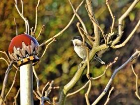 2019-12-09 LüchowSss Garten Sumpfmeise (Parus palustris) im Maulbeerbaum (Morus alba)