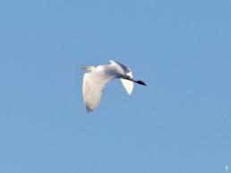 2019-12-15 LüchowSss unterwegs Silberreiher (Ardea alba) fliegt davon