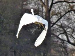 2019-12-17 LüchowSss unterwegs Silberreiher (Ardea alba) fliegt schimpfend auf