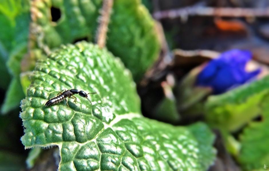 2019-12-18 LüchowSss Garten Gartenprimelknospe + Insekt (1)