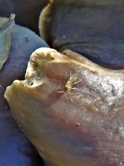 2019-12-21 LüchowSss Garten 1x10 Pilzmücke (Mycetophila spec.) auf Austern-Seitling (Pleurotus ostreatus) (1)