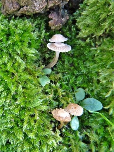 2019-12-23 LüchowSss Garten1x10 Zypressenschlafmoos (Hypnum cupressiforme) +Pilze vermutl. Helmlinge (Mycena spec.) + Sämlinge