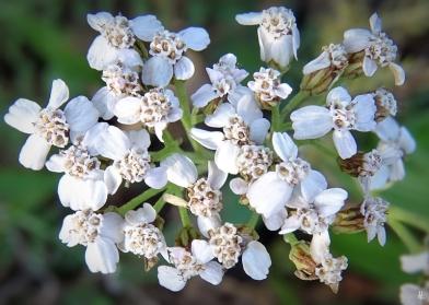 2019-12-23 LüchowSss Garten1x10 Schafgarbe (Achillea millefolium)