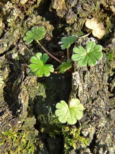 2019-12-23 LüchowSss Garten1x10 Storchschnabel (Geranium spec.) an Eiche