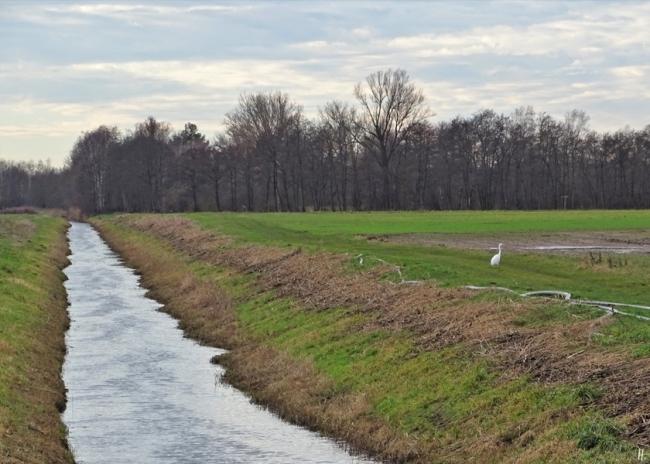 2019-12-30 b. Lüchow - Silberreiher (Ardea alba) am Königshorster Kanal (1)