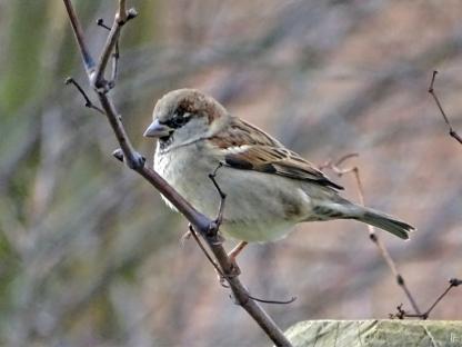 2019-12-30 LüchowSss Garten Vögel (2) Haussperling (Passer domesticus) Männchen auf Weinrebe