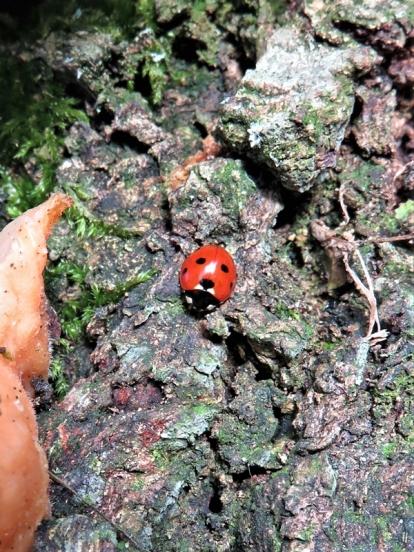 2020-01-10 LüchowSss Garten (18) Siebenpunkt-Marienkäfer (Coccinella septempunctata) auf Eichenrinde