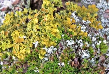 2020-01-13 LüchowSss Flechten + Moos (1) u.a. Gewöhnliche Gelbflechte (Xanthoria parietina) + evtl. Goldhaarmoos + Blasenflechte (Hypogymnia physodes)