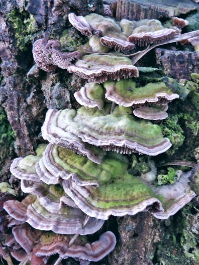 2020-01-13 LüchowSss Pilze Buckel-Tramete (Trametes gibbosa)
