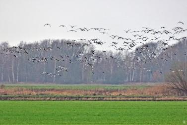 2020-01-13 zw. Lüchow + Wustrow Nordische Gänse (1)