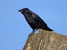 2020-01-15 LüchowSss Garten Rabenkrähe (Corvus corone corone) auf der Eiche (2)