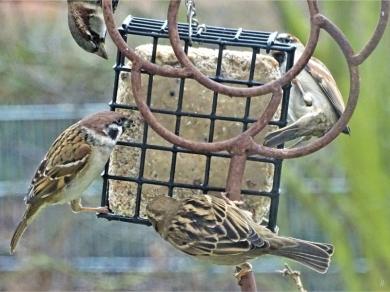 2020-01-23 LüchowSss Garten Vogelfütterung Feld- + Haussperlinge am Energieblock (1)