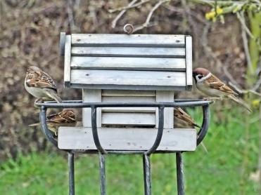 2020-01-23 LüchowSss Garten Vogelfütterung Feld- + Haussperlinge am Futterhaus (1)