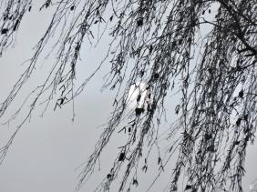 2020-01-24 LüchowSss Vormittagssonne hinter Birkenzweigen