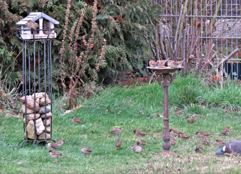 2020-02-12 LüchowSss Garten Sperlinge (1)