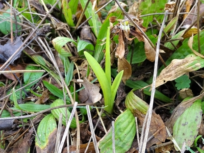 2020-02-15 LüchowSss Garten Bahnwärter- bzw. Braunrote Taglilie (Hemerocalis fulva)