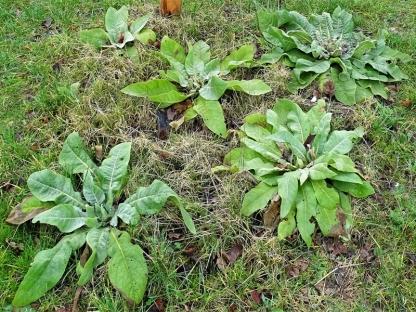 2020-02-15 LüchowSss Garten Königskerzen-Rosetten (Verbascum olympicum + V. thapsus)