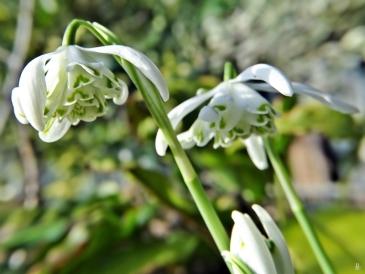 2020-02-15 LüchowSss Garten nachmittags 1x10 Schneeglöckchen (Galanthus nivalis) gefüllte Sorte 'Flore pleno' (3)