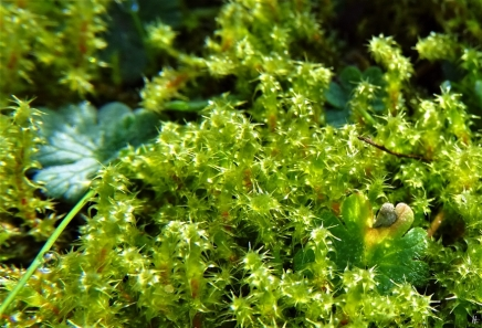 2020-02-15 LüchowSss Garten nachmittags 1x10 Sparriger Runzelpeter (Rhytidiadelphus squarrosus)