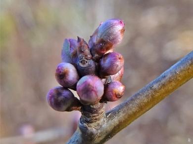 2020-02-15 LüchowSss Garten nachmittags Blutpflaume (Prunus cerasifera) Knospen + verstecktes Insekt (2)