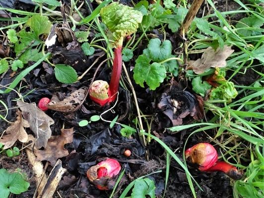 2020-02-15 LüchowSss Garten Rhabarber (Rheum rhabarbarum)