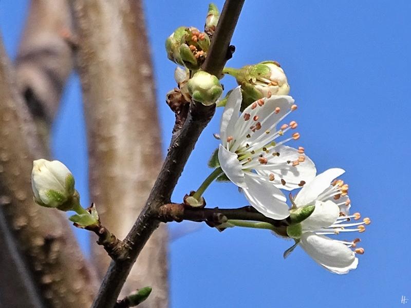 2020-02-19 LüchowSss Garten Krete (Prunus insititia) blüht (2)