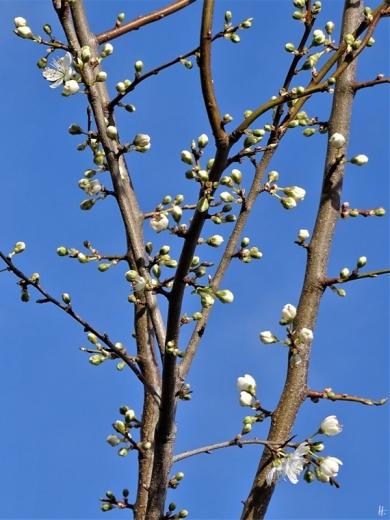 2020-02-19 LüchowSss Garten Krete (Prunus insititia) blüht (3)