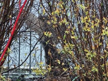 2020-02-23 LüchowSss Garten Sperber (Accipiter nisus) (13)