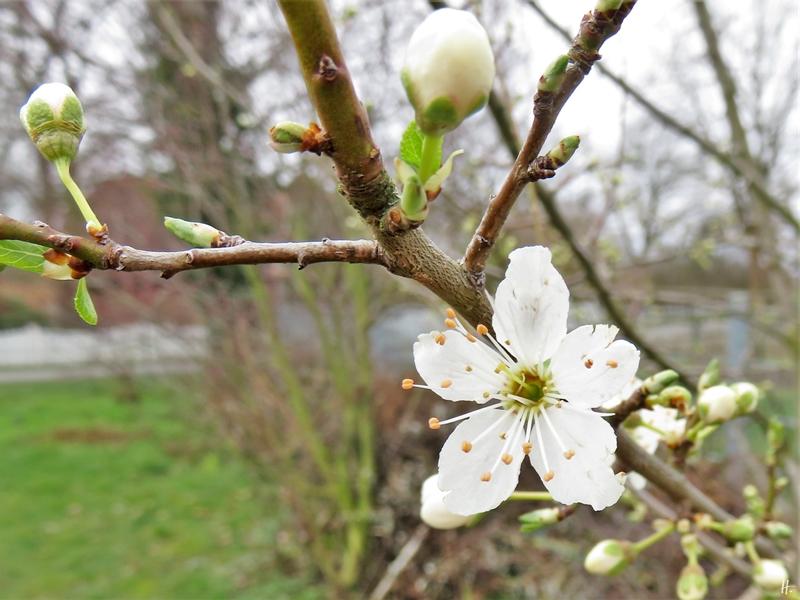 2020-02-24 LüchowSss Garten Krete (Prunus insititia)