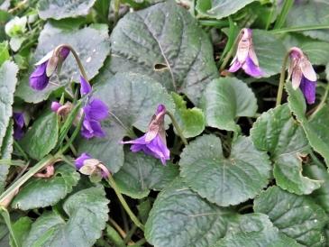 2020-02-24 LüchowSss Garten Märzveilchen (Viola odorata)