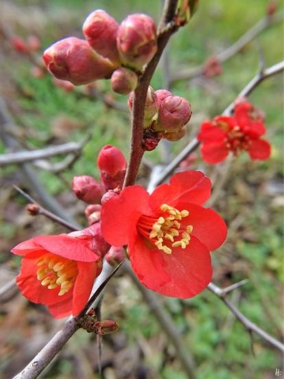 2020-02-27 LüchowSss Garten Zierquitten (Chaenomeles) Blüten