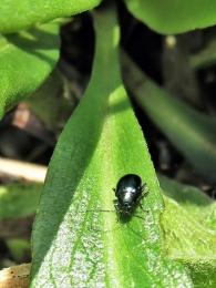 2020-03-02 LüchowSss Garten kl. schwarzer Käfer auf Glattblattaster