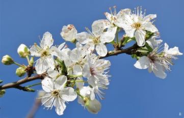 2020-03-02 LüchowSss GartenKrete (Prunus insititia) (5)