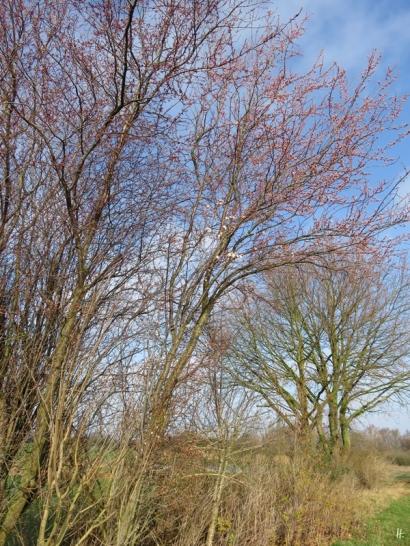 2020-03-02 LüchowSss unterwegs (6) Blutpflaumen- bzw. Kirschpflaumen-Blüten