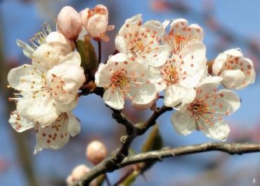 2020-03-02 LüchowSss unterwegs (7) Blutpflaumen- bzw. Kirschpflaumen-Blüten