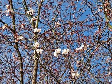 2020-03-02 LüchowSss unterwegs (8) Blutpflaumen- bzw. Kirschpflaumen-Blüten