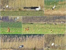 2020-03-04 bBanneick unterwegs (1x6) Feldhase + Graugänse + Schwäne + Kranich + Silberreiher + Graureiher