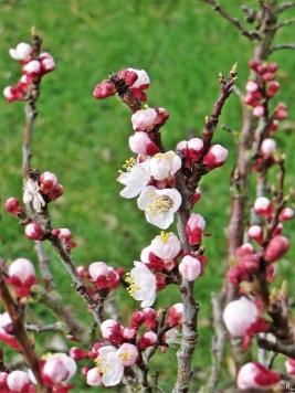 2020-03-04 LüchowSss Garten Aprikosenblüten (Prunus armeniaca) (1)
