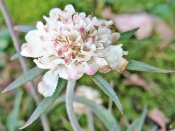 2020-03-04 LüchowSss Garten Gelb-Skabiose (Scabiosa ochroleuca) vom Vorjahr (2)