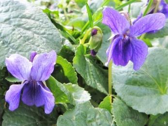 2020-03-04 LüchowSss Garten Märzveilchen (Viola odorata)