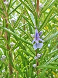 2020-03-04 LüchowSss Garten Rosmarin (Rosmarinus officinalis) - die erste geöffnete Blüte 2020