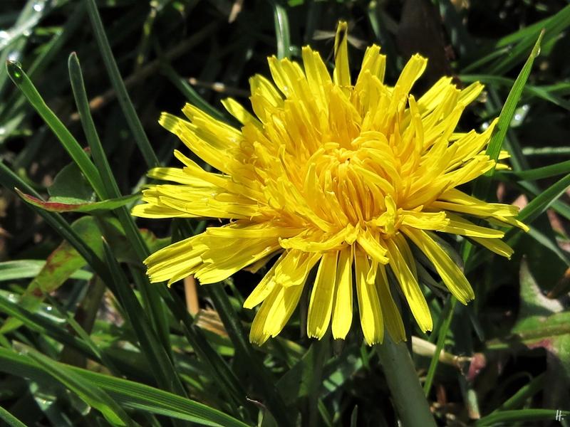 2020-03-05 LüchowSss unterwegs (3) Löwenzahn-Blüte