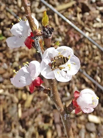 2020-03-09 LüchowSss Garten Aprikosenblüten + Sandbiene (2)
