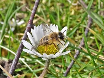 2020-03-09 LüchowSss Garten Gewöhnliche Sandbiene (Andrena flavipes) + Gänseblümchen (3)